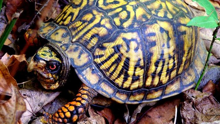 Box turtle with red eyes and yellow coloring, standing in brown leaves