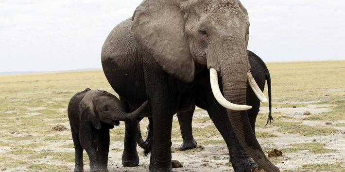 Great Elephant Census Underway in Africa - Video