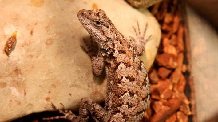 Fence lizard from behind sitting on a rock