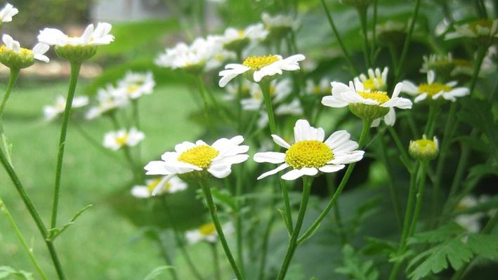 Side view of small daisy-like blooms -- white with yellow centers