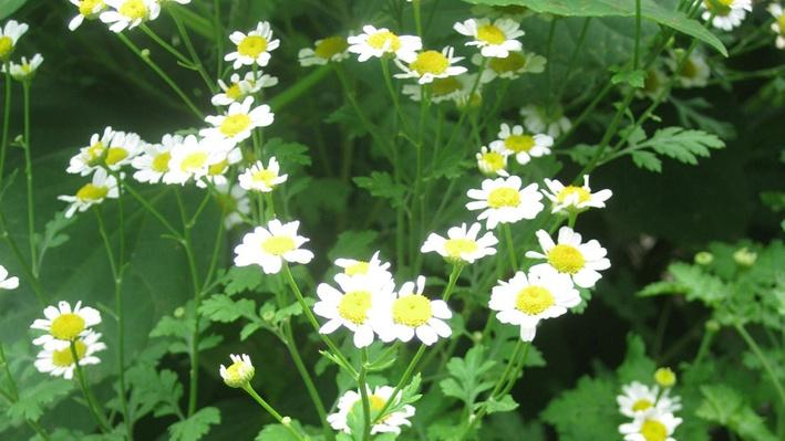 a photo of small daisy-like blooms from above