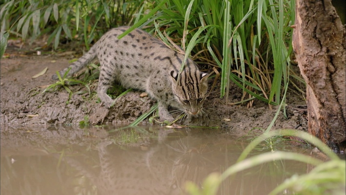 Animal Adaptations: Fishing Cat