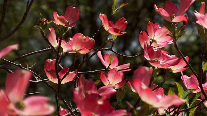 close up of pink dogwood flowers with petals reaching upward