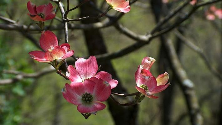 Dogwood branch in the sping covered with pink flowers with white centers