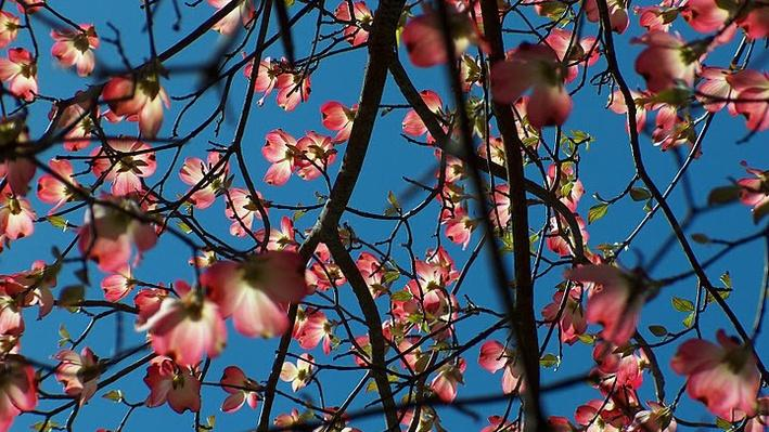branches of a flowering dogwood with pink flowers from below the tree, blue sky showing through