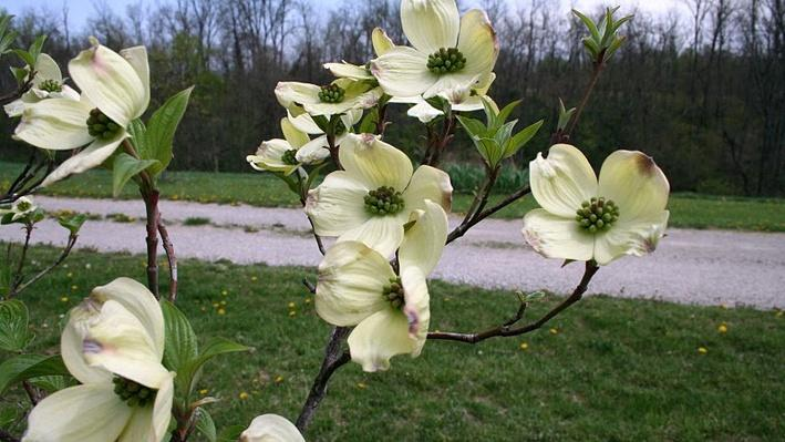 close up of creamy white dogwood flowers with greenish middles