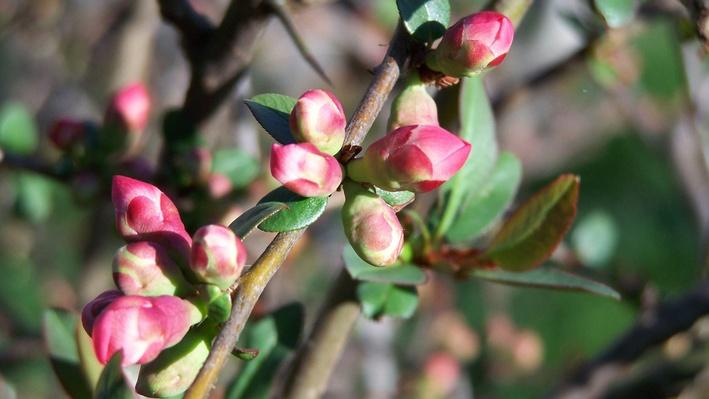 small pink flowering quince buds clustered togehtr on a branch with small green leaves