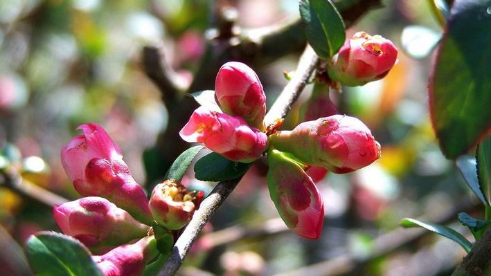 small pink flowering quince buds clustered together on a branch with small green leaves