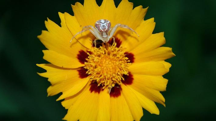 Flower crab spider on flower