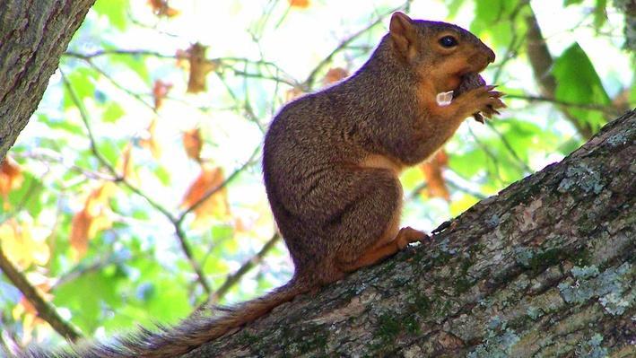 Fox Squirrel | KET Image Bank