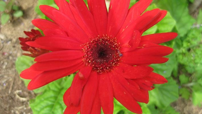 Bright red daisy with darker red middle from above