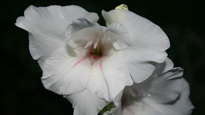 White ruffled gladiola bloom at the top of a spike of additional white blooms