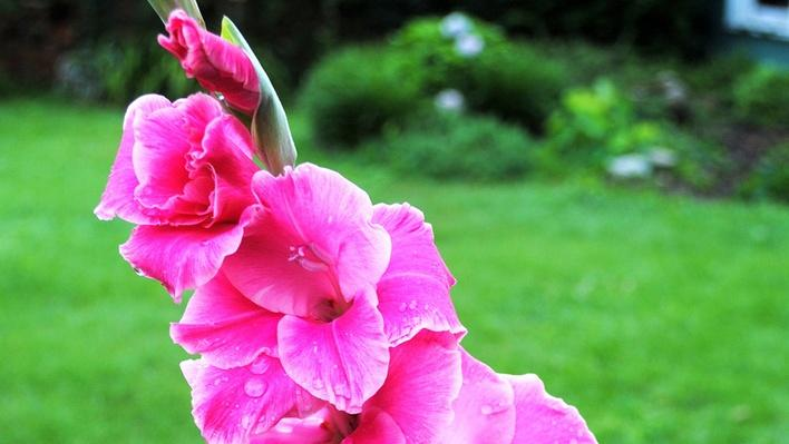 Long gladiolus spike covered in ruffled pink blooms