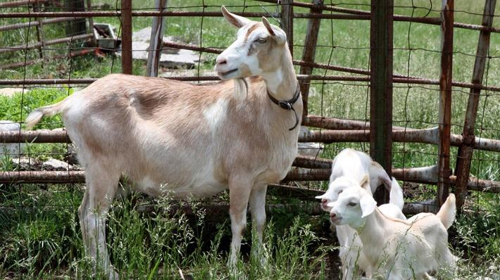 Goat | KET Image Bank