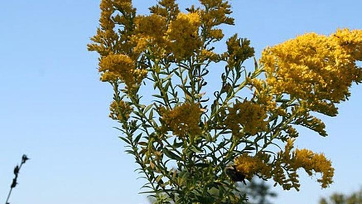 yellow goldenrod flowers from below with blue sky behind