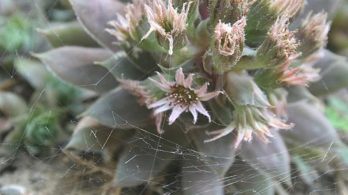 spiky sage green succulent with tiny flowers emerging from the top
