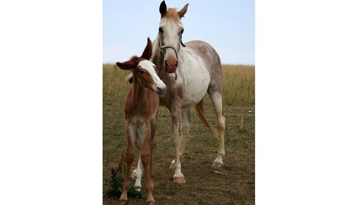 White and brown speckled horse standing with brown foal in a field