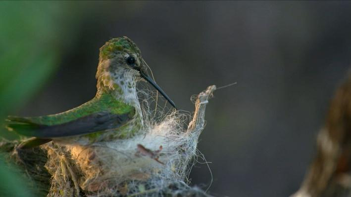 Nature Nuggets: A Hummingbird's Nest