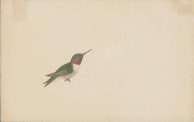 Watercolor painting of a red-throated hummingbird from 1821 by artist John James Audubon.