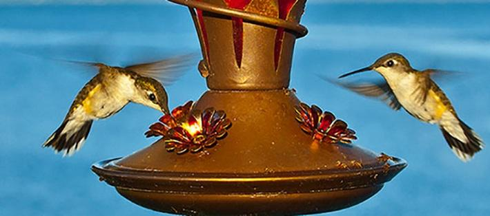 Why Hummingbirds Have a Sweet Tooth | Inside Science