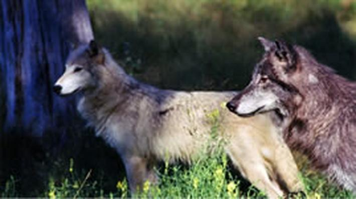 Wolves | Science Trek