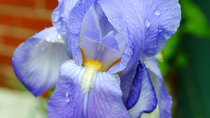 Lavendar bearded iris with a yellow center coverd in droplets of water