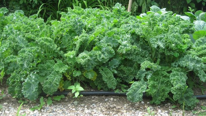 large sprouts of curly, ruffled, green kale leaves