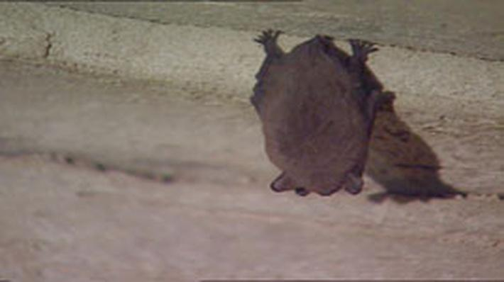 Indiana Bats of Carter Cave | Kentucky Life