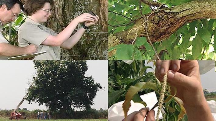 American Chestnut Tree | Electronic Field Trip to the Forest