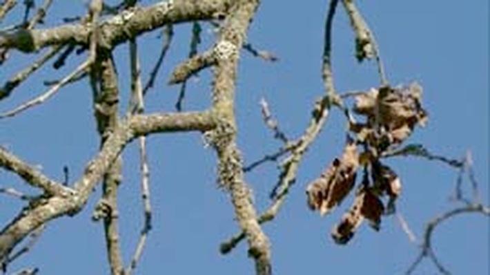 Sudden Oak Death | QUEST