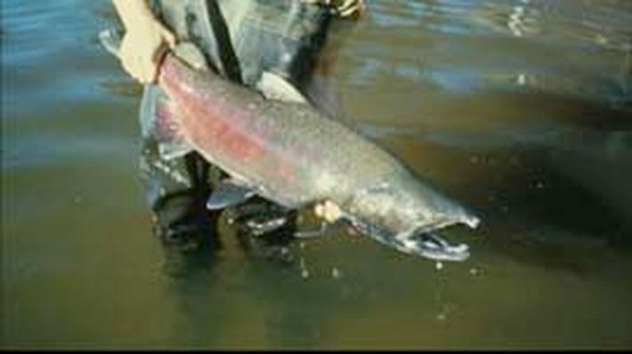 California's Lost Salmon