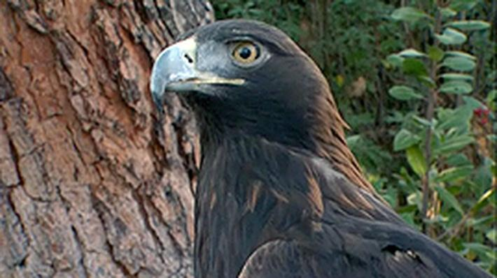 Cool Critters: Golden Eagles | QUEST