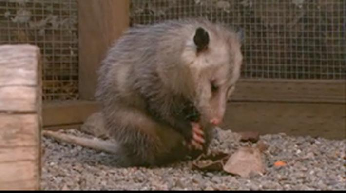 Cool Critters: Opossums | QUEST