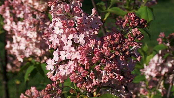 Clusters of small, pinkish-purple blooms
