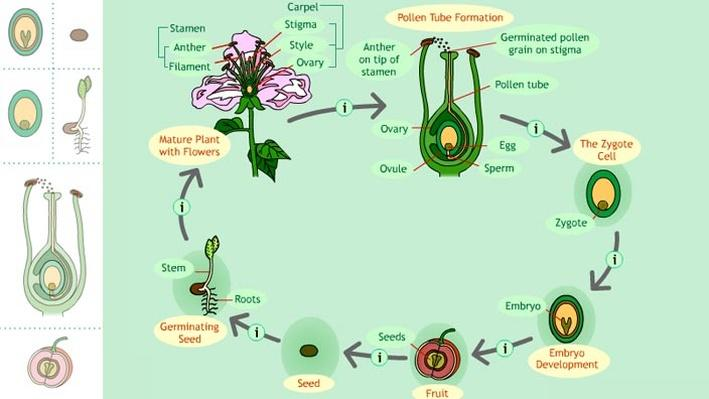 Life Cycle of a Seed Plant
