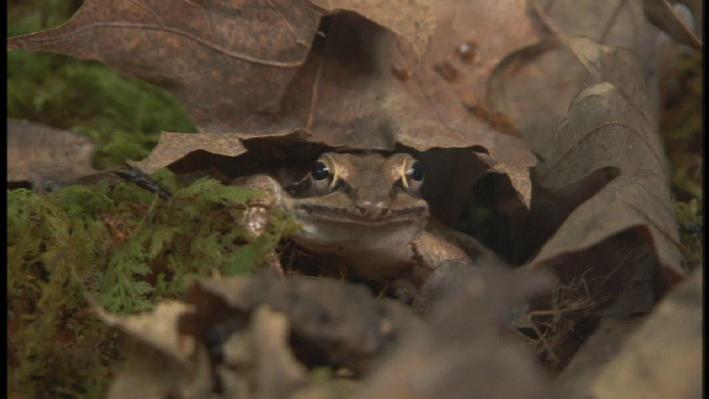 NOVA: Frozen Frogs