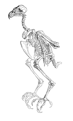 Skeleton of a Hawk | Clipart