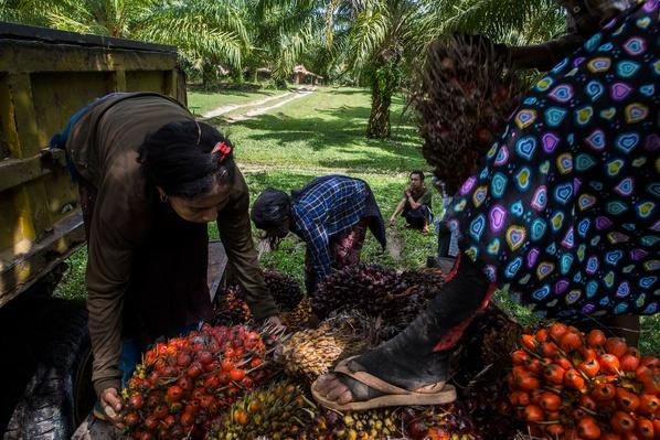 Loading Palm Fruit | Global Oneness Project