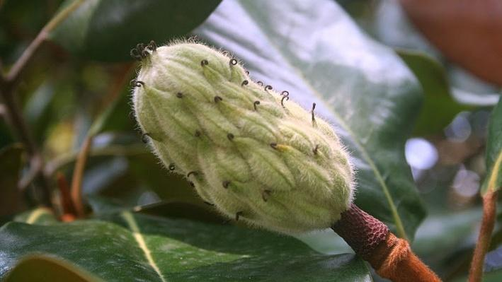 Close up of prickly looking green magnolia bud