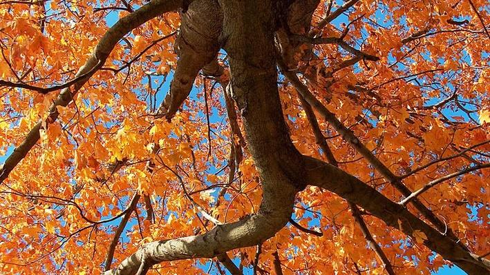A maple tree from below in Autumn. The tree's leaves are bright orange. Blue sky is showing through the branches.