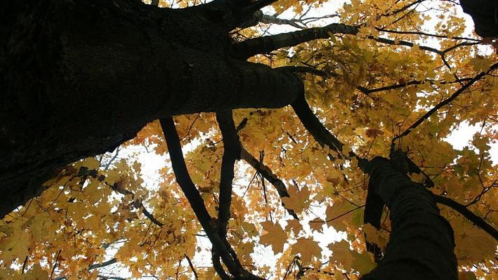 A maple tree from below in Autumn. The tree's leaves are bright yellow.