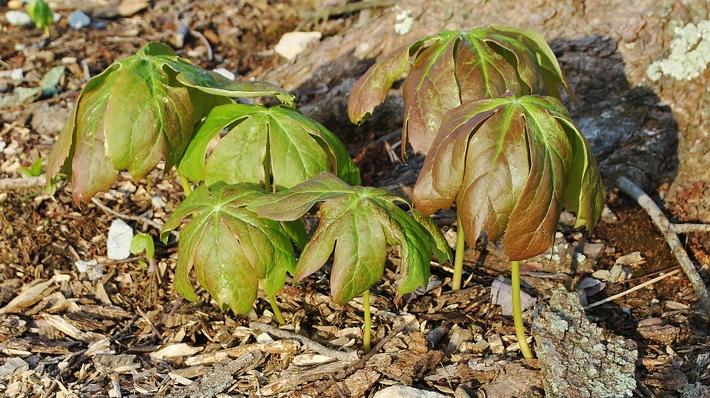 Young mayapple plant with leaves bent downwards
