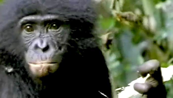 Chimps and Bonobos | Evolution