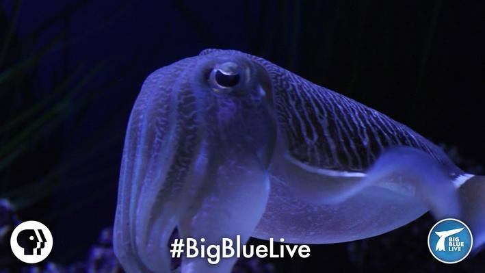 Cuttlefish: Tentacles in Disguise | It's Okay to Be Smart