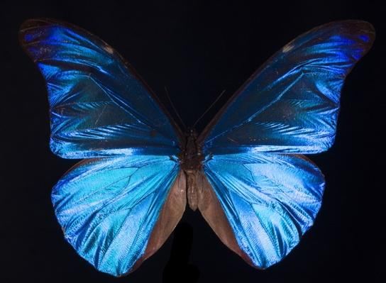 What Gives the Morpho Butterfly Its Magnificent Blue?
