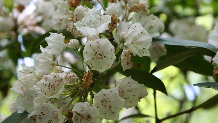 Cluster of white flowers with small pink spots