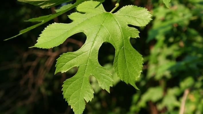 close up of a bright green lobed mulberry leaf