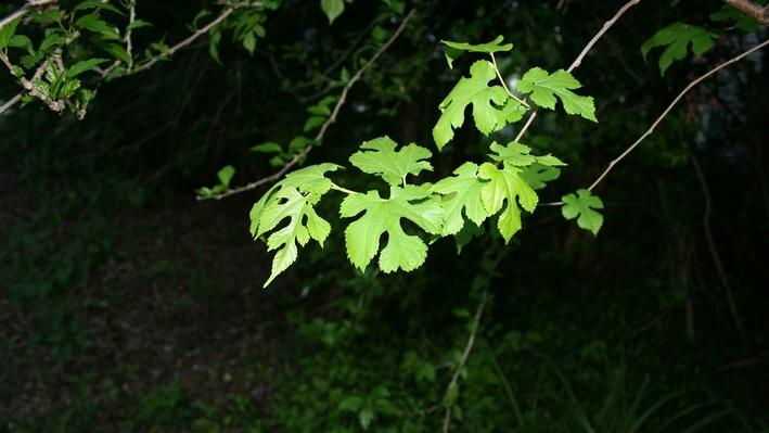 Cluster of bright green, lobed mulberry leaves hanging from a branch
