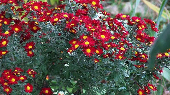 A group of red chrysanthemums with yellow middles