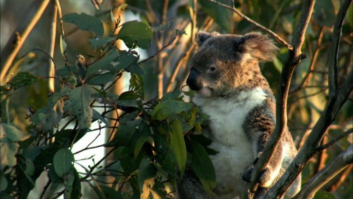 The Koala Diet